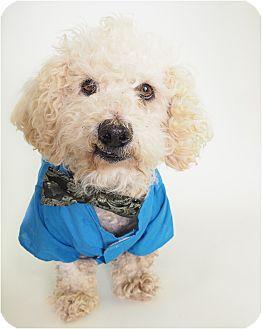 Poodle (Miniature)/Bichon Frise Mix Dog for adoption in Phoenix, Arizona - Pendleton