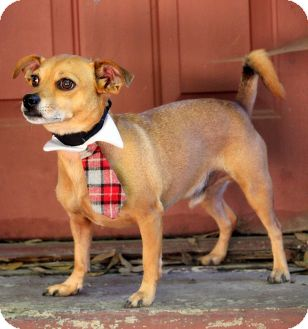 Chihuahua/Jack Russell Terrier Mix Dog for adoption in Dalton, Georgia - Peanut