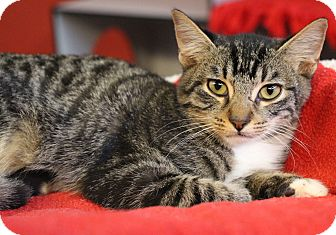 Domestic Shorthair Kitten for adoption in Sarasota, Florida - Matador