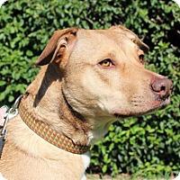 Shepherd (Unknown Type)/Labrador Retriever Mix Dog for adoption in Modesto, California - Sophie