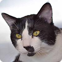 Domestic Shorthair Cat for adoption in Sierra Vista, Arizona - Kat