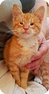 Domestic Shorthair Kitten for adoption in Wauconda, Illinois - Mewtwo