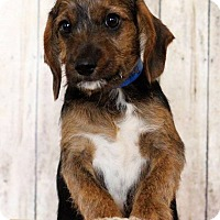 Adopt A Pet :: Bruno - Waldorf, MD