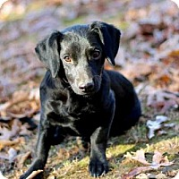 Beagle Mix Puppy for adoption in Norfolk, Virginia - PUPPY RASCAL