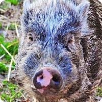 Adopt A Pet :: OSCAR - Louisville, KY