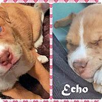 Adopt A Pet :: Echo - Ringwood, NJ