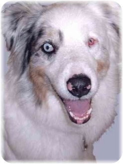 Australian Shepherd Dog for adoption in Grass Valley, California - Shep