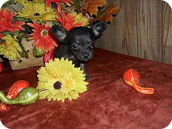 Chihuahua/Dachshund Mix Puppy for adoption in Chandlersville, Ohio - Teeny Chi-weenie