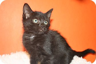 Bombay Kitten for adoption in SILVER SPRING, Maryland - HEDY