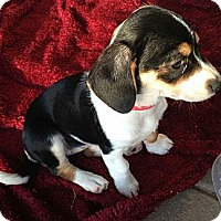 Adopt A Pet :: Astrid - Phoenix, AZ