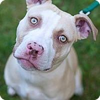 Adopt A Pet :: Chauncey - Reisterstown, MD