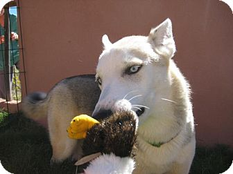 Siberian Husky/German Shepherd Dog Mix Dog for adoption in Radium Springs, New Mexico - BC