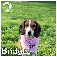 Adopt A Pet :: Bridget - Novi, MI