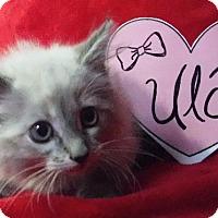 Adopt A Pet :: Ula - Batesville, AR