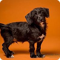 Adopt A Pet :: Rollo - Woonsocket, RI