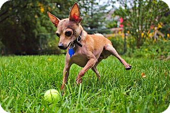 Chihuahua Mix Dog for adoption in Hamilton, Ontario - Mazzo