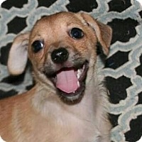Terrier (Unknown Type, Small)/Chihuahua Mix Puppy for adoption in Mission Viejo, California - WINNIE