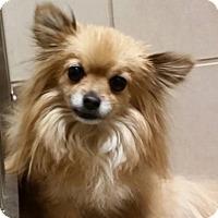 Pomeranian Dog for adoption in Wintersville, Ohio - TOFFEE