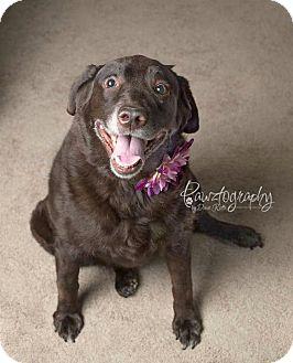 Labrador Retriever Mix Dog for adoption in Scottsdale, Arizona - Joelle