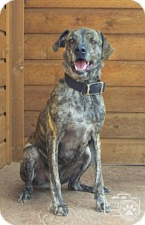 Shepherd (Unknown Type) Mix Dog for adoption in Divide, Colorado - Copper