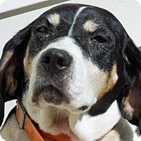 Treeing Walker Coonhound Mix Dog for adoption in Cincinnati, Ohio - Imagen