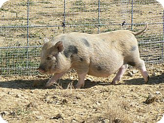 Pig (Potbellied) for adoption in Georgetown, Kentucky - Squiggles