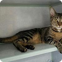 Domestic Shorthair Cat for adoption in Manteo, North Carolina - Bobbie Jo