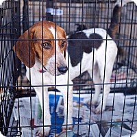 Adopt A Pet :: Lucky, but call me Mr. Beagle - Richfield, WI
