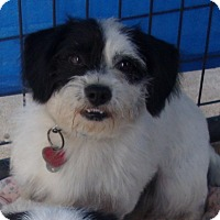 Terrier (Unknown Type, Small) Mix Dog for adoption in Coudersport, Pennsylvania - PIRATE