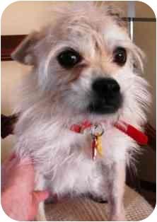 Reggie Adopted Dog Osseo Mn Shih Tzu Cairn Terrier Mix