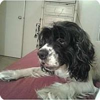 Adopt A Pet :: Tiki - Tacoma, WA