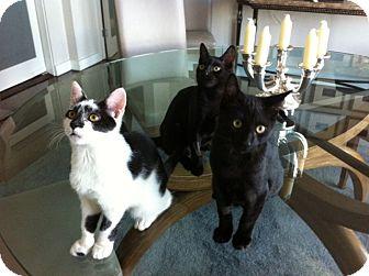 Siamese Kitten for adoption in Beverly Hills, California - Jackson