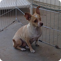 Adopt A Pet :: Daisy - West Hollywood, CA