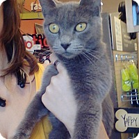 Russian Blue Cat for adoption in Cerritos, California - Misty