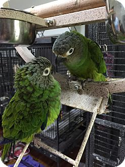 Conure for adoption in St. Louis, Missouri - Hester & Henry