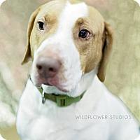 Adopt A Pet :: Pinkerton - Muskegon, MI