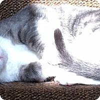 Domestic Shorthair Cat for adoption in St. Louis, Missouri - Maxine