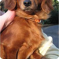 Adopt A Pet :: Phoebe - Salem, OR