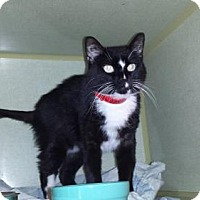 Domestic Shorthair Cat for adoption in Iroquois, Illinois - Jacqueline
