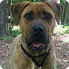 Adopt A Pet :: Boz