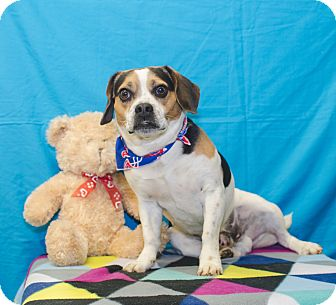 Beagle/Pug Mix Dog for adoption in Poteau, Oklahoma - SKIPPY