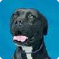 Adopt A Pet :: Betty - Beverly Hills, CA