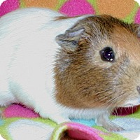 Guinea Pig for adoption in Steger, Illinois - Piggly