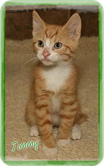 Domestic Shorthair Kitten for adoption in Shippenville, Pennsylvania - Jimmy