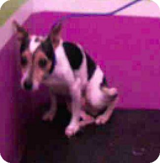 Fox Terrier (Smooth) Mix Dog for adoption in Fort Collins, Colorado - Domino