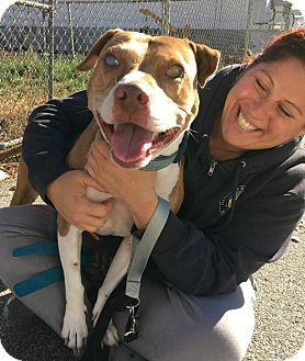 Pit Bull Terrier/American Staffordshire Terrier Mix Dog for adoption in Cranston, Rhode Island - Sully