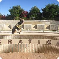 Adopt A Pet :: TRAINED SERVICE DOG. Koa - Phoenix, AZ