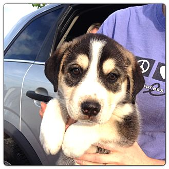 Husky/Border Collie Mix Puppy for adoption in Russellville, Kentucky - Mr. Sunshine