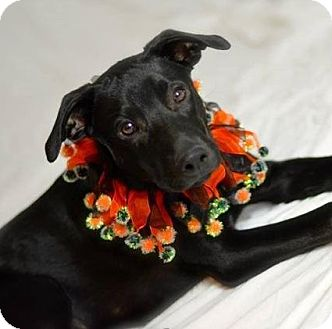 Labrador Retriever Mix Puppy for adoption in Gilbert, Arizona - Dallas