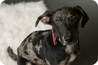 Weimaraner/Catahoula Leopard Dog Mix Dog for adoption in Louisville, Kentucky - Frosty
